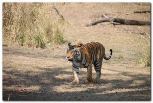 Tiger at Pench and kanha National park